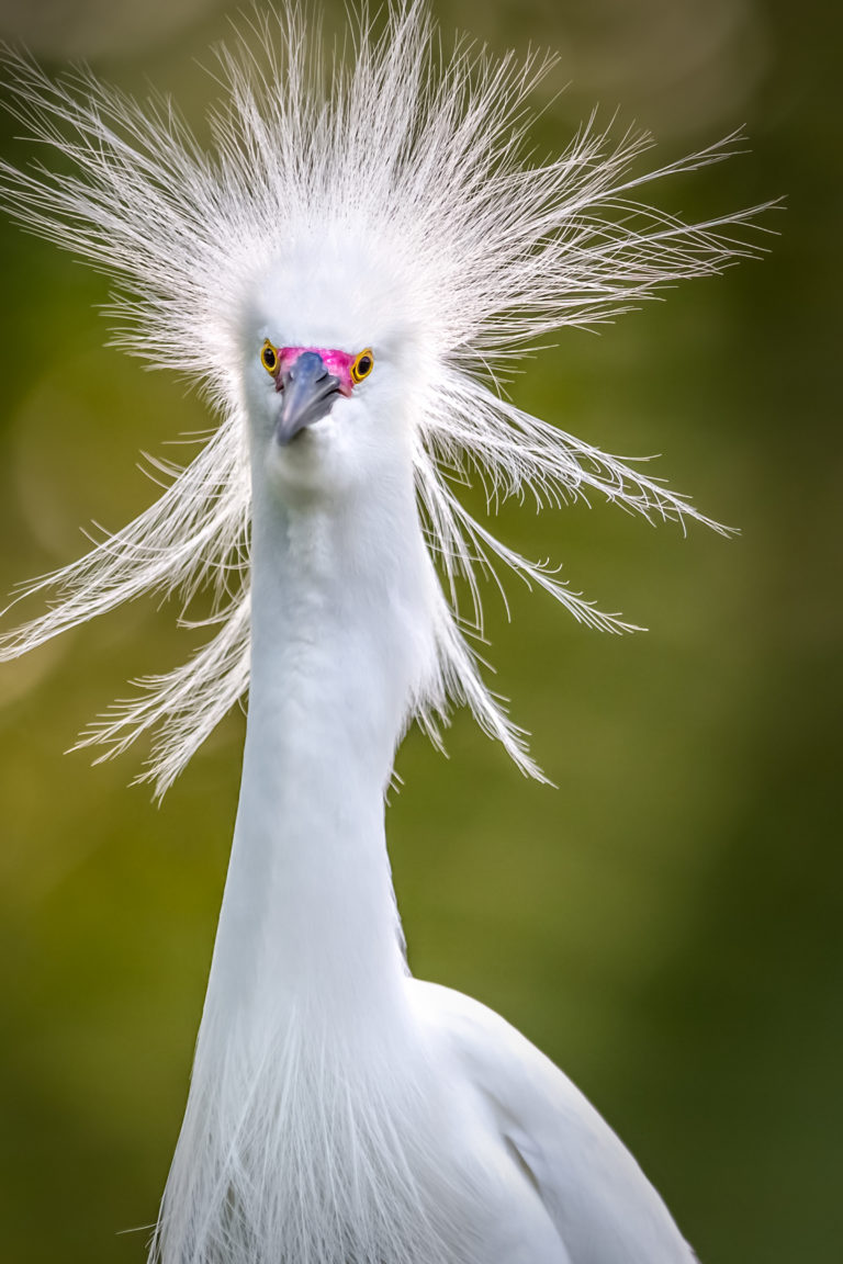 Revised Dennis Goodman Snowy Egret.jpg