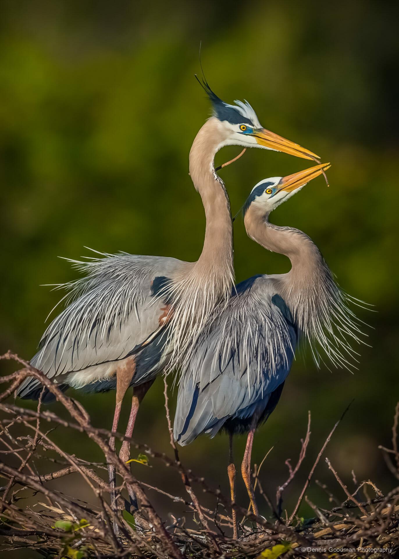 Blue Heron 1 - Dennis Goodman Photography & Printing
